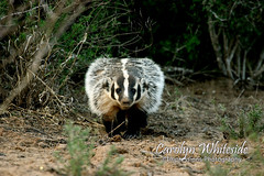 Badger Warning