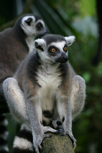 Lemur in Singapore's fantastic Zoological Gardens...