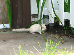 Albino Chipmunk (ET Photo Home!) Tags: animal rodent chipmunk albino naturesfinest