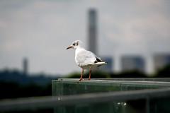 IMG_7429_1 copy (stumpy man) Tags: uk bird nature gull handrail nottinghamshire attenborughnaturereserve