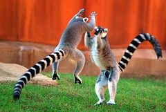 Ring-tailed lemur fight 1 (floridapfe) Tags: life nature animal animals zoo lemur soe vie everland ringtailedlemur   lmuriens  specanimal golddragon abigfave anawesomeshot superaplus aplusphoto megashot lmur excellentphotographerawards everlandzoo theunforgettablepictures brillianteyejewel naturewatcher betterthangood  everlandthemepark