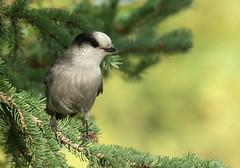 Howdy, pardner. (Jamuudsen) Tags: canada bird jay fine alberta banff okay songbird grayjay haveityourway greyjay perisoreuscanadensis whiskeyjack canadajay