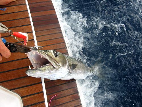 Nasty Barracouda caught near Turks and Caicos
