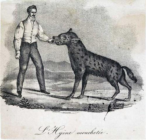 hyena taming