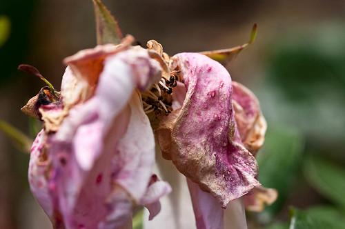 Sweet Inspiration (floribunda)