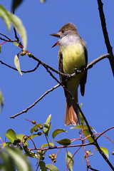 Great Crested Flycatcher (TheNatureDude) Tags: greatcrestedflycatcher palosforestpreserve illinoisbirds