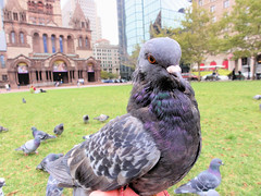 Pigeon -- Different from First (brooksbos) Tags: city urban food bird nature public birds boston geotagged ma photography photo feeding pigeon sony newengland cybershot bostonma sonycybershot coply bostonist masschusetts lurvely square 02116 thatsboston copley dschx5v hx5v brooksbos