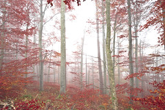 Indian Summer in the Mist  Explore (Swissrock) Tags: wood mist nikon nebel explore wald indiansummer olten kobel switzerlandschweizsuissesvizzera froburg kw45 d700 felsplateau onceeins 830m