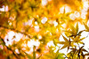 magic moments (moaan) Tags: life leica november autumn color yellow digital 50mm gold glow dof bokeh dr diary momiji summicron japanesemaple kobe utata rokko glowing hue tinted 2010 m9 f20 tinged autumnaltints inlife leicasummicron50mmf20dr leicam9 diaryofnovember gettyimagesjapanq1 gettyimagesjapanq2