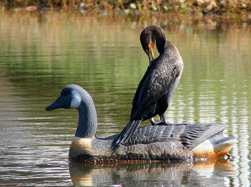 Cormorant on decoy 20101115