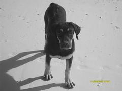 rottwoxer...incrocio tra un rottweiler e un boxer (gnaghi) Tags: bw blancoynegro blanco los negro roques