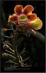 Nagalingam (Anoop Anand A) Tags: india canon 350d kerala 3a canon350d l canoneos350d anoop ef aaa trivandrum westernghats keralam peppara 400mm couroupitaguianensis kallar kenko cannonballtree thiruvananthapuram extensiontubes lecythidaceae canonef400mmf56l wildflowerindia anoopaa naagalingam bonacaud bonakkad 3abinurahularun anoopananda anoopco wwwanoopco httpwwwanoopco