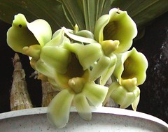 "Catasetum pileatum var. imperiale ""Pierre Courbet"" - female flowers (Aeranthes) Tags: orchid orchids orchidaceae catasetum pileatum catasetumpileatum pierrecourbet catasetiinae catasetumpileatumvarimperiale"