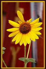Sunflower--Corrales (nicholsphotos) Tags: newmexico gallery sunflower corrales nicholsphotos albuquerquewomensflickrmeet