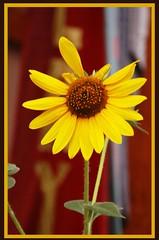 Sunflower--Corrales (nicholsphotos) Tags: newmexico gallery sunflower corrales nicholsphotos albuquerquewomensflickrmeet