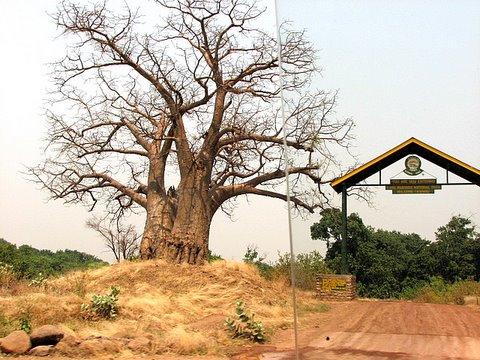 baobab next to the entrance to the lake manyara park