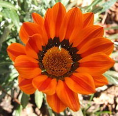 orange crop (*Kevin45*) Tags: fab orange flower gazania soe s9000 shieldofexcellence impressedbeauty aplusphoto diamondclassphotographer flickrdiamond greatflowermacros