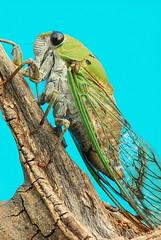 [フリー画像] [節足動物] [昆虫] [蝉/セミ]        [フリー素材]