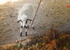 The black sockets (baby) sheep (CioccolataCris) Tags: white black sheep lamb bianco nero agnello sockets calzini naturalmente pecora parcodellacaffarella samsungs730 cioccolatacris