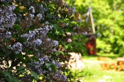 lilacs blooming everywhere