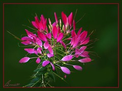 It is Thursday......I needed something bright :-) (bonnie5378) Tags: pink ngc cleome oct10 supershot bej supershots betterthangood colorsoftheheart qualitypixels damniwishihadtakenthat mamasbloomers coth5 naturescarousel naturallywonderful
