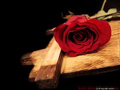 ~ (DLo3t 2boha) Tags: ورد أحمر الورد جوري حزين غيابك،الجوري
