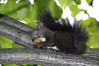 The black squirrel with a nut (Go 4 IT) Tags: nature holy 365 amateur creations kitlenses flickraward holycreationsofnature pentaxk7 betterthangoodlevel1 evghenitirulnic