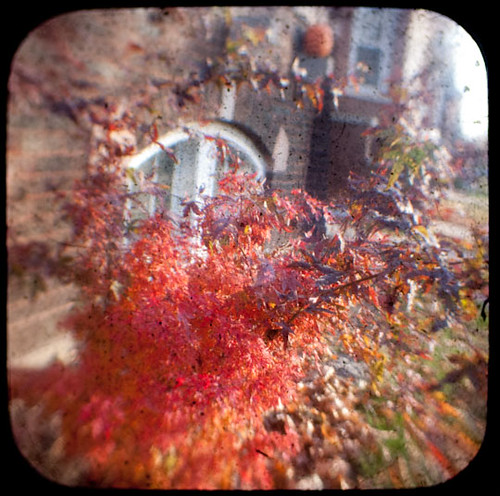 Japanese Maple TtV