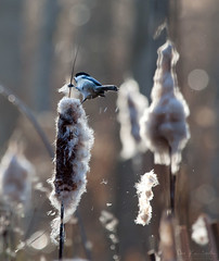 Playful Morning (Don Komarechka) Tags: morning autumn brown ontario canada bird canon bokeh chickadee swamp playful barrie cattail ef100400mmf4556lisusm canoneos5dmarkii