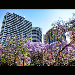 Jacarandas at the Quay (shastadaisy~) Tags: orange skyscrapers purple circularquay jacarandas kangaroopaws magicunicornverybest selectbestexcellence magicunicornmasterpiece sbfmasterpiece