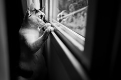 (Nilton Ramos Quoirin) Tags: reflection window paran brasil cat gato gata janela reflexo pepita fozdoiguau
