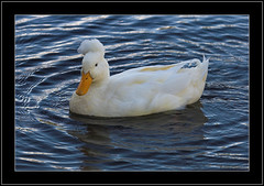 Elvis-The White Crested Duck (Barbara J H) Tags: duck australia buderim naturesfinest canon30d ql whiteduck crestedduck supershot whitecrestedduck barbarajh northbuderimlake elvistheduck