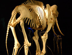 Elephant Skeleton - by Curious Expeditions