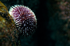 Sea Urchin - by macropoulos