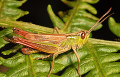 "Grasshopper(7) • <a style=""font-size:0.8em;"" href=""http://www.flickr.com/photos/57024565@N00/726841324/"" target=""_blank"">View on Flickr</a>"