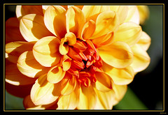 For my sister Gloria. (Brenda-Starr) Tags: dahlia flowers flower macro nature gardens canon flora canon350d ef100mmf28 canonrebel april2007 abigfave empryreanflowers explore205jul62007
