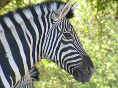 zebra (thomas pix) Tags: sonoma safari safariwest