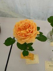 1st prize single stem floribunda rose