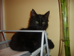 Oscar (sarbar77) Tags: black cat blackcat furry kitten kitty fluffy