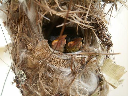 Sunbird babies 03(03Aug07)