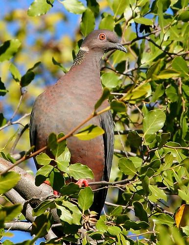 Torcaza (Patagioenas (Columba) araucana)