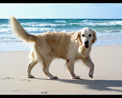 Grisa (JFabra) Tags: madrid sea dog beach goldenretriever canon spain labrador playa perro animales 5bestdogs eos400d canoneos400d españa jfabra 25deagosto2005