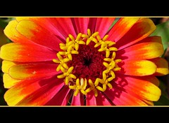 A colourful Art (SezzRS) Tags: pink red orange flower macro yellow closeup nikon coolpix makro sar krmz notedited pembe e4200 turuncu sanatilahi flowersinflower acolourfulart iekiindeiekler