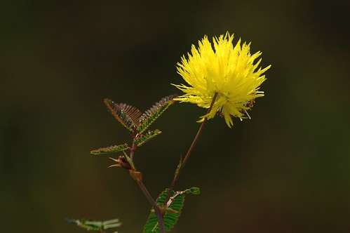 Mimosa-like yellow flower