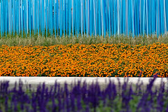 Cyan Gradient (DJ Axis) Tags: wood flowers blue orange fleur forest wow garden sticks colorful landscaping lawn violet jardin multiplicity pole bleu sidewalk rows mauve ville fort multitude picket trottoir bout color dgrad piquette gazon btons