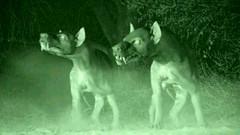 02 Hyaenodons saw Indri baby
