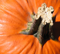 Fall (akahodag) Tags: autumn orange fall pumpkin stem harvest abigfave colorphotoaward