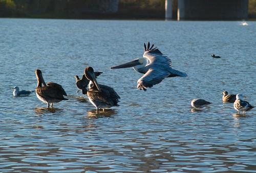 Pelican - Malibu Lagoon