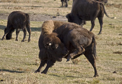Unlikely to Graduate from the Emily Post Institute, But When You're This Big, You Make Your Own Etiquette (Matthew P Sharp 1984) Tags: canada wildlife alberta 7d elk bison 100400 cs5
