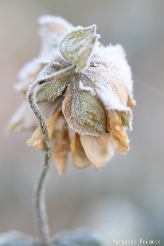 Frosty Morning 3 - Japanese Anemone